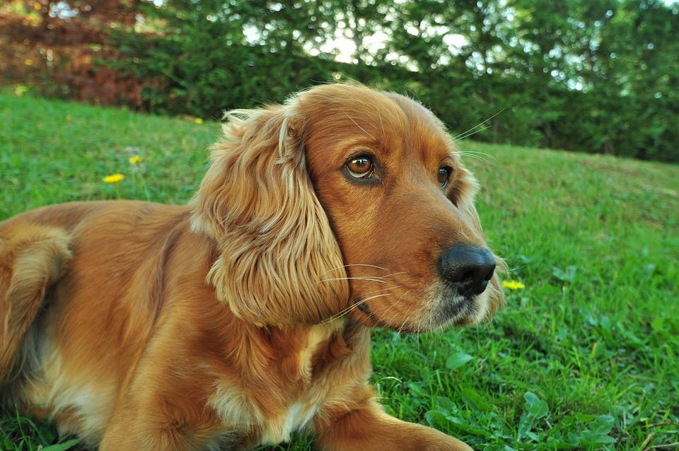 Dog Wow Pets Cocker 183 Free Photo On Pixabay