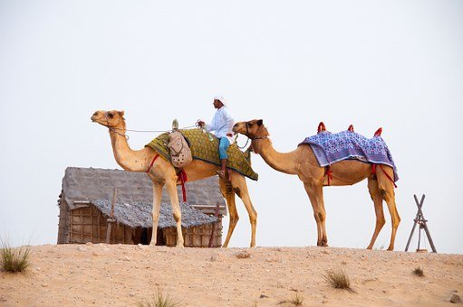 Desert, Camels, Dubai, Dubai, Dubai