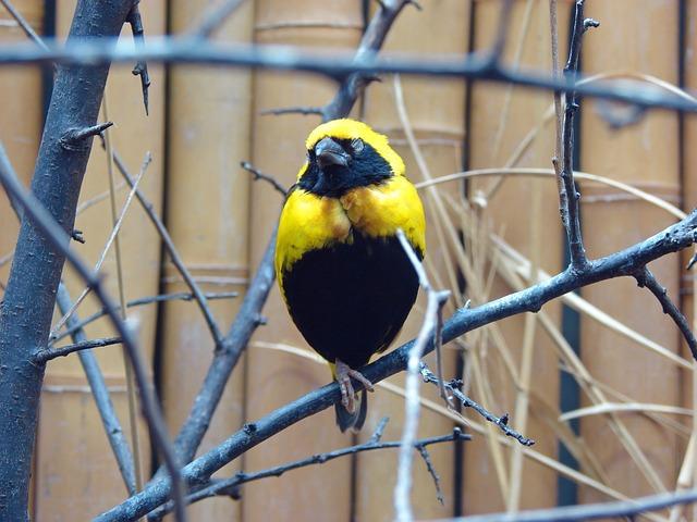 kostenloses foto vogel gelb schwarz singvogel kostenloses bild auf pixabay 640086. Black Bedroom Furniture Sets. Home Design Ideas