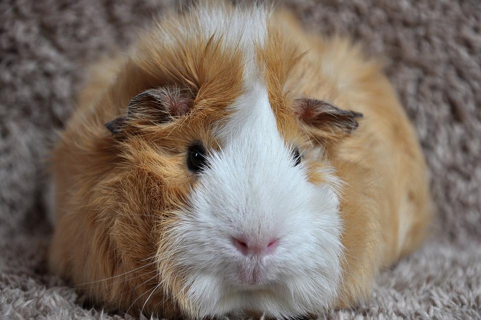 guinea pig rosette buff white free photo on pixabay