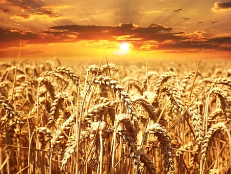Wheat Field, Wheat, Cereals, Grain