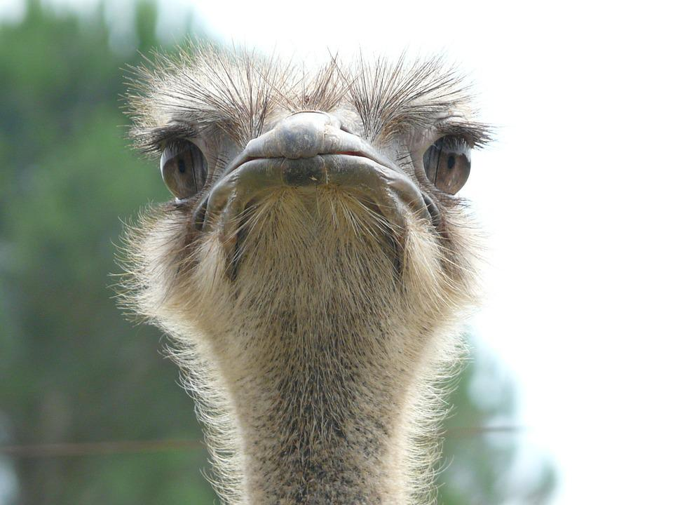 Free Photo Ostrich Animal World Look Free Image On