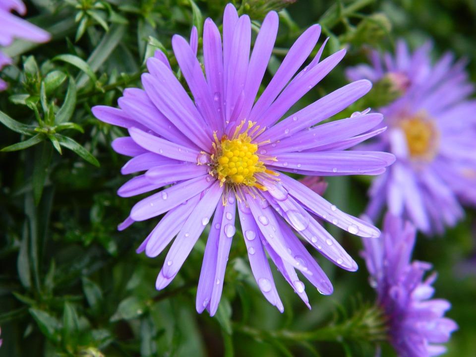 Астер цветок