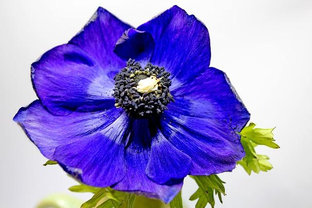 Free Photo Blossom Bloom Blue Poppy Close