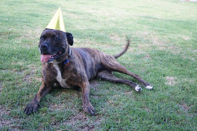 Staffy Dog Birthday 183 Free Photo On Pixabay