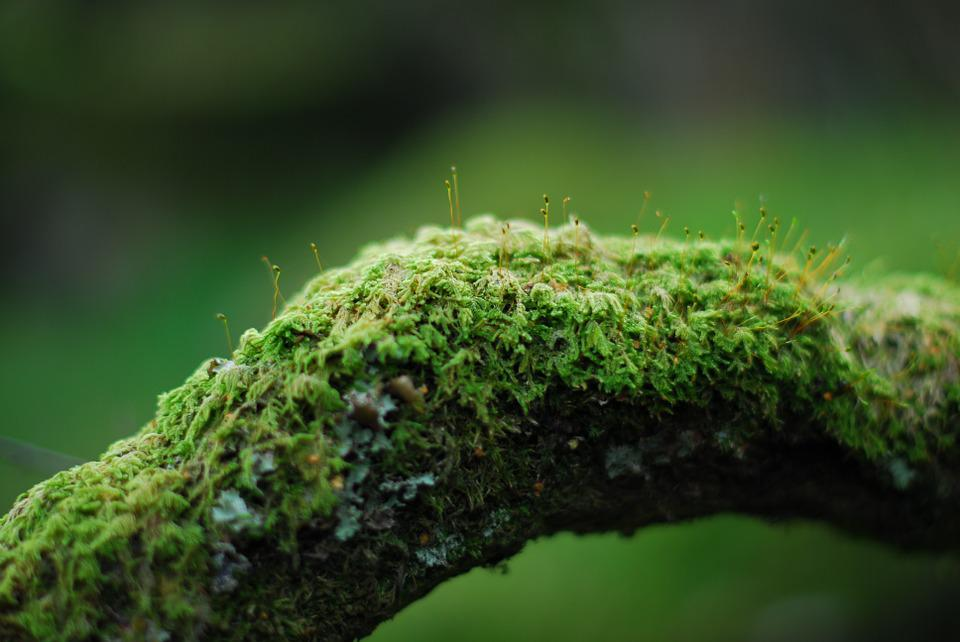 Moss, Branch, Green, Nature, Forest, Tree, Plant