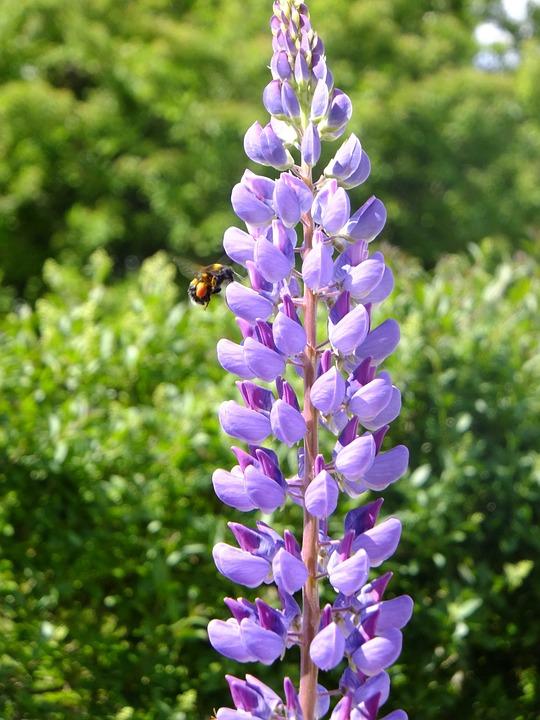 Lupin Naturel Pourpre Photo Gratuite Sur Pixabay