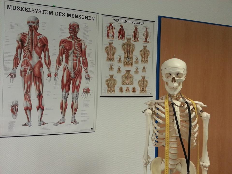 Skelett Knochen Anatomie · Kostenloses Foto auf Pixabay