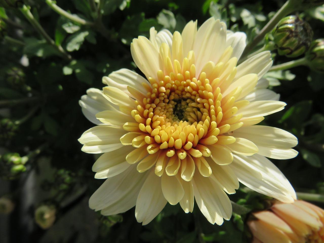 Картинки хризантема цветок