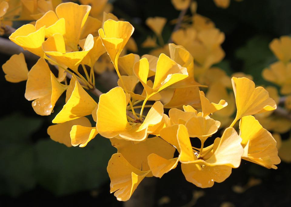 Ginkgo Biloba, Autumn, Macro, Golden, Tree