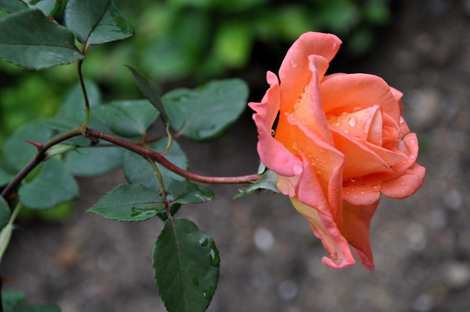 Bunga Mawar Makro Kemudahan Jatuh Foto Gratis Di Pixabay