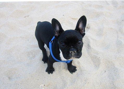 Bulldog, Puppy, Animal, Funny, Doggy