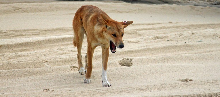 Dingo Wild Animal Beach Australia Fraser I