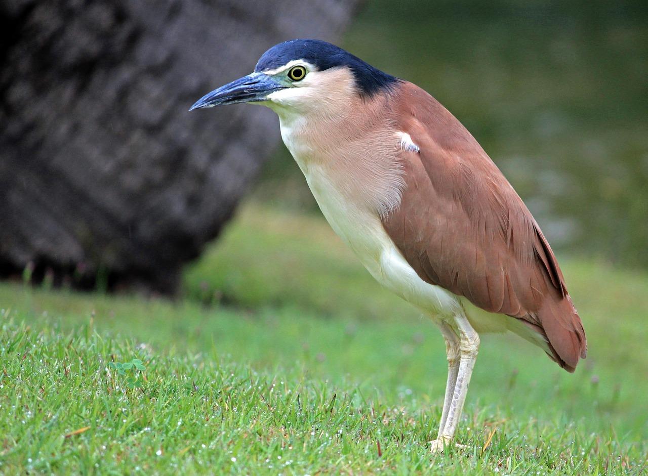 Кваква птица картинки