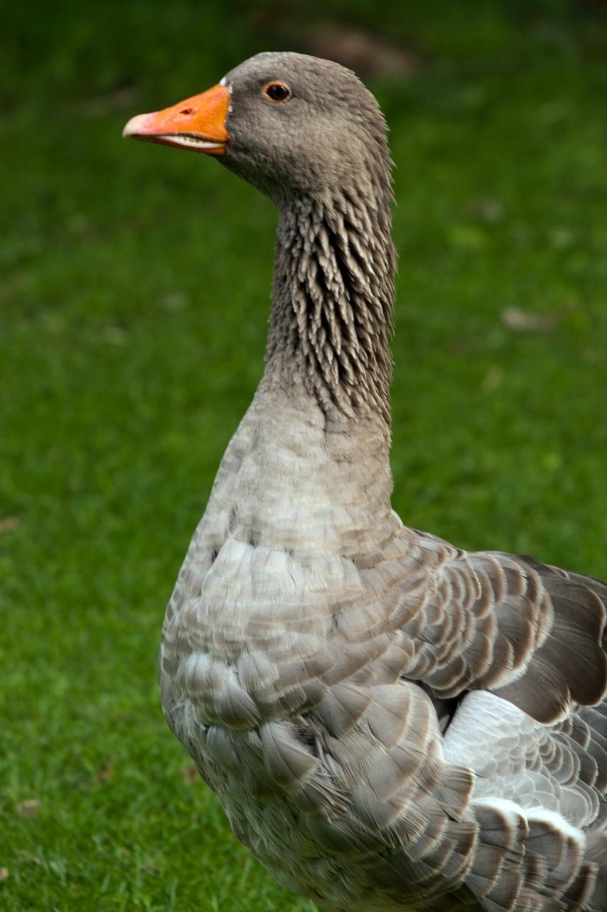 Маме, картинка с гусями