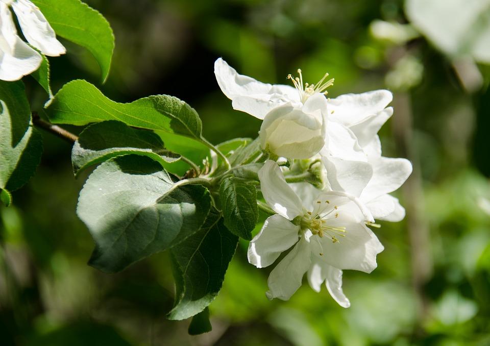 Unduh 85 Gambar Bunga Apel Gratis