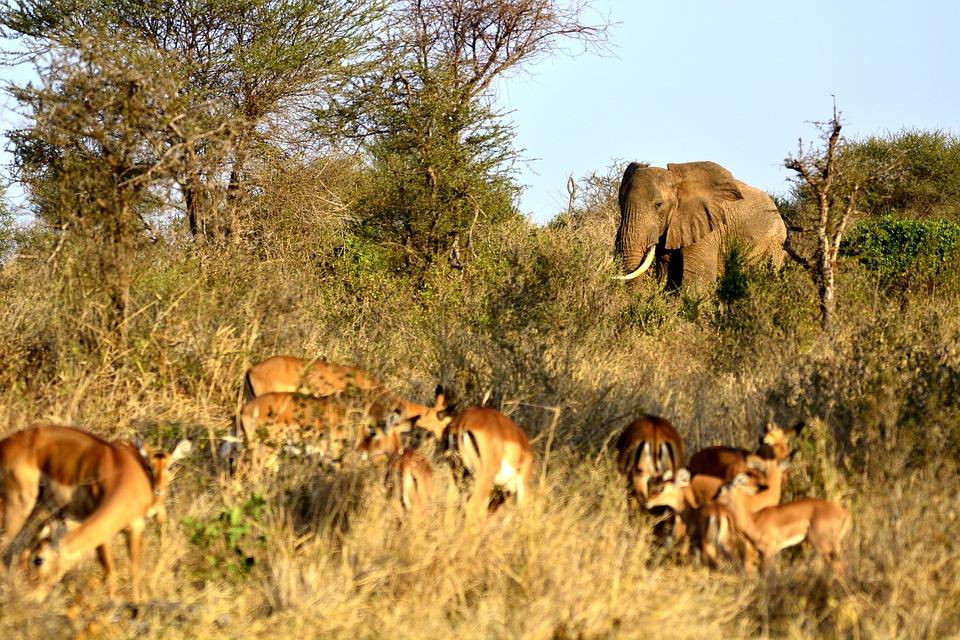 Éléphant, Impala, Gazella, Amboseli, Afrique, Kenya