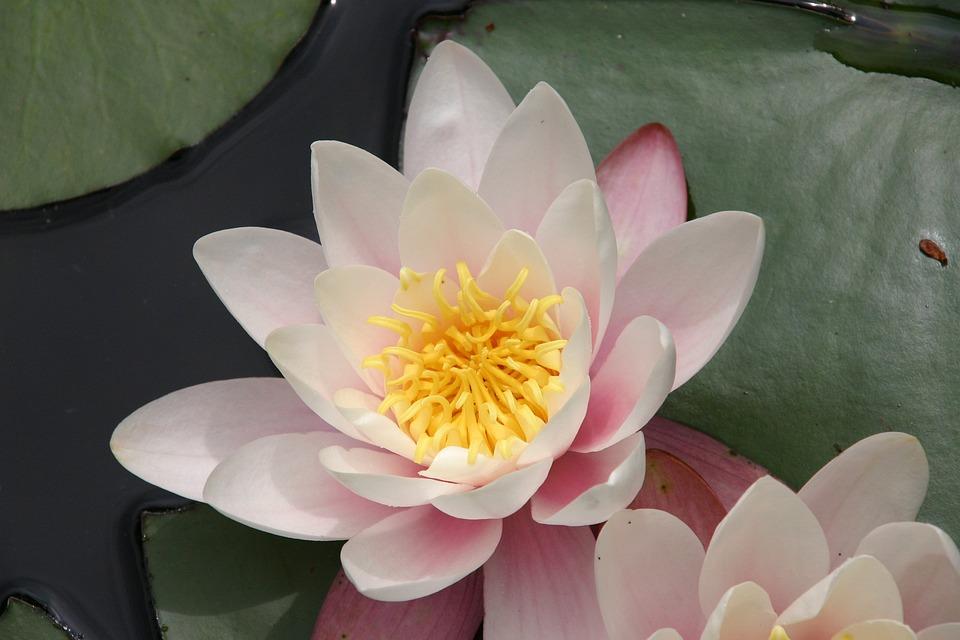 Free Photo Lotus Flower Zen Lotus Nature Free Image