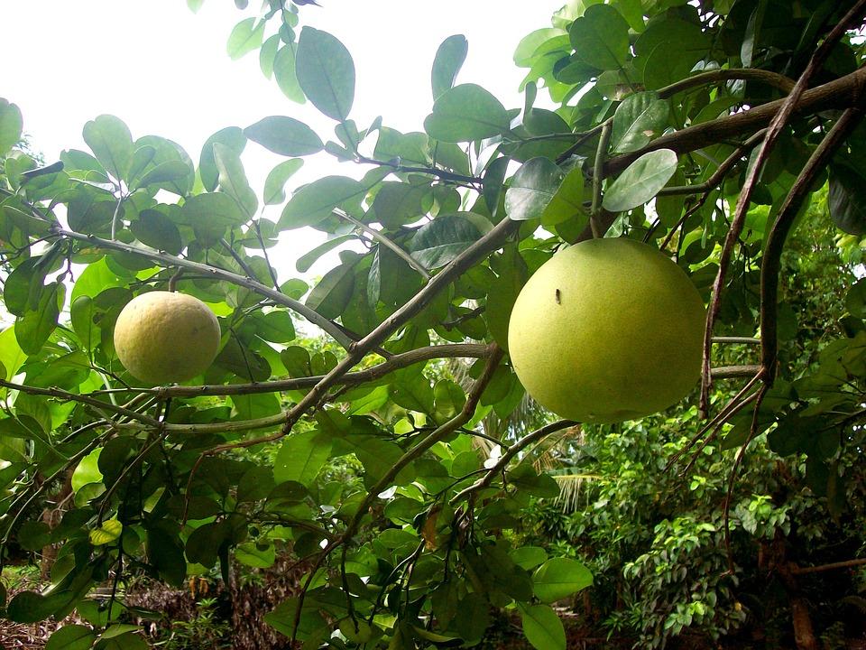 柚, 水果, 柠檬, 热带, 柚子, 橙色的, 绿色柠檬