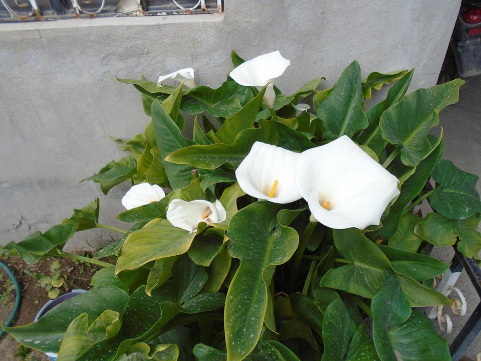 Flores Alcatraz Foto Gratis En Pixabay