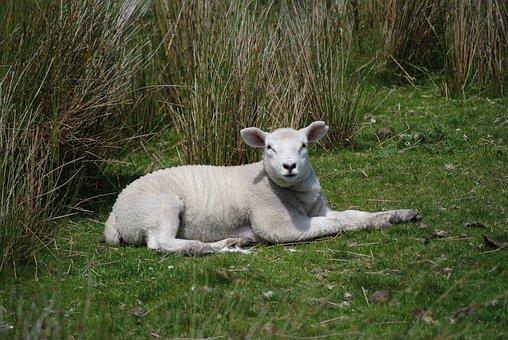 Lamb Wild Green Animal Nature Sheep Farm B