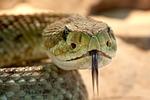 rattlesnake, toxic, snake