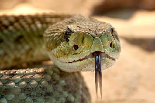 Rattlesnake, Toxic, Snake, Dangerous