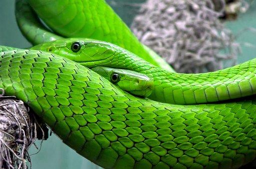Snake, Mamba, Green Mamba, Toxic, Lizard
