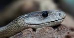 snake, toxic, dangerous