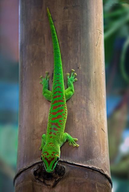 Malagasy Taggecko