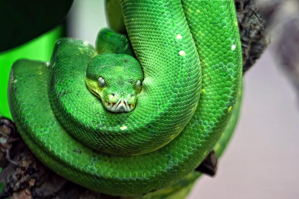 Gratis Fotografie Slange Giftige Gr 248 Nt Tre Slange