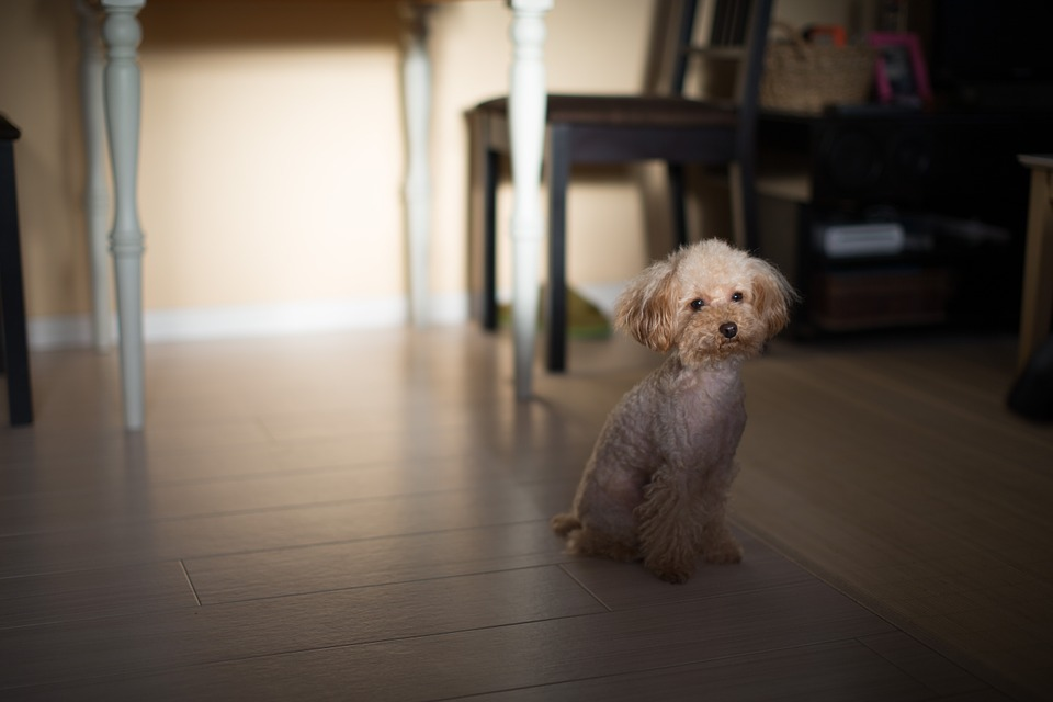 Poodle, トイプードル, 犬, プードル, ペット, 動物