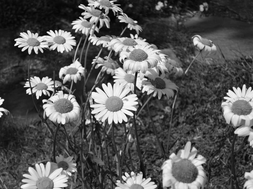 Foto Gratis: Flor, Margarita, En Blanco Y Negro