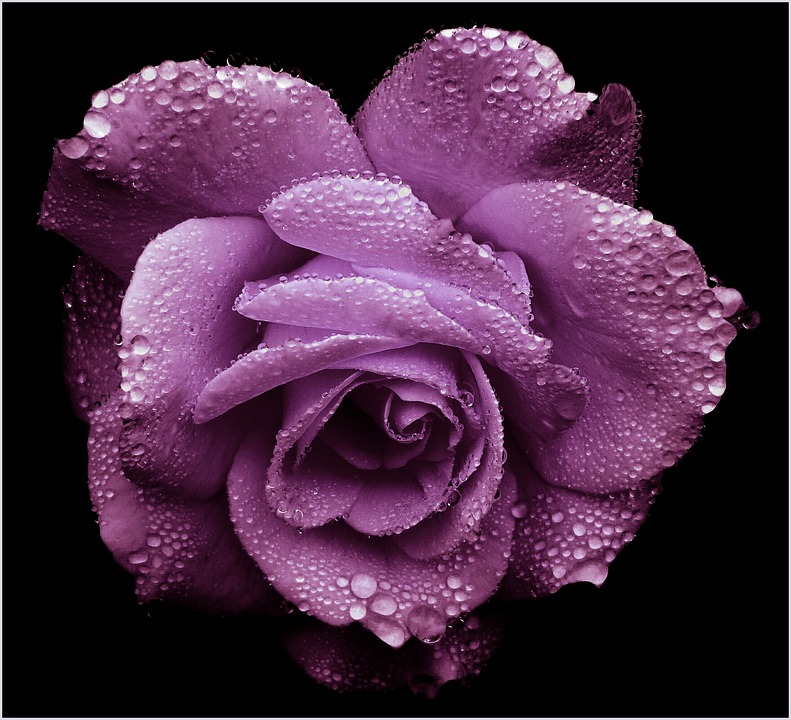 purple roses images pixabay download free pictures