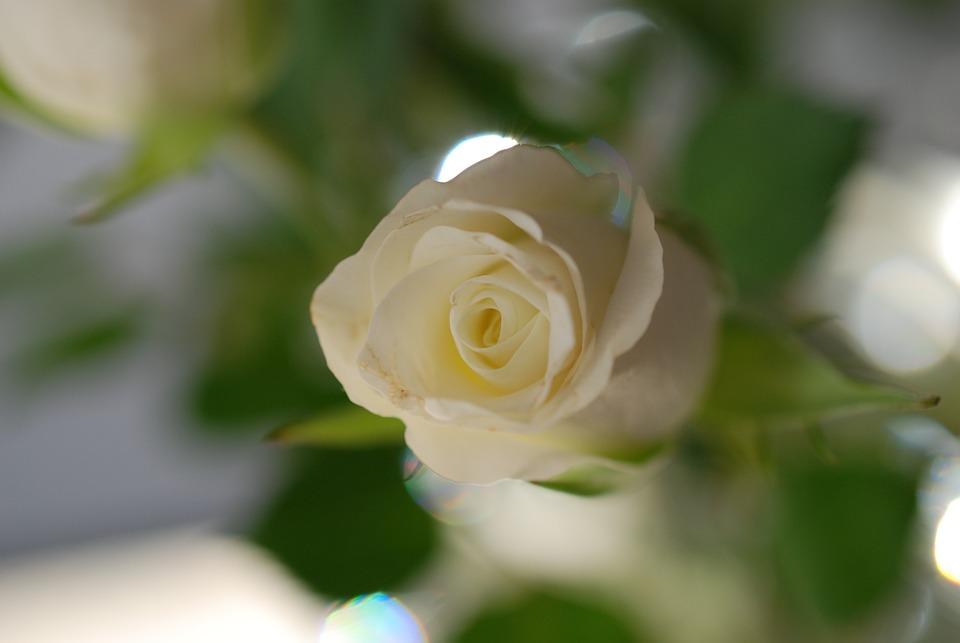 Rose Flower White Shrub · Free photo on Pixabay