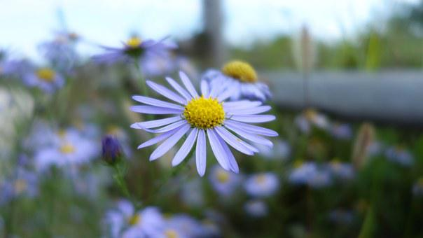 ゲミチュウィ, マーク、, 野生の花, 薄紫, 花, ホタルブクロ, 公園