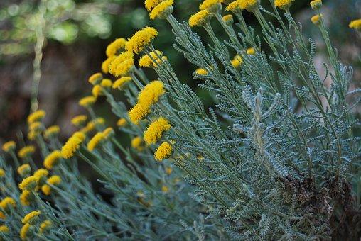 Feld, Blumen, Kamille, Gelb, Blume