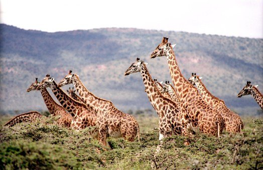 Giraffe Wild Wildlife Nature Safari Africa