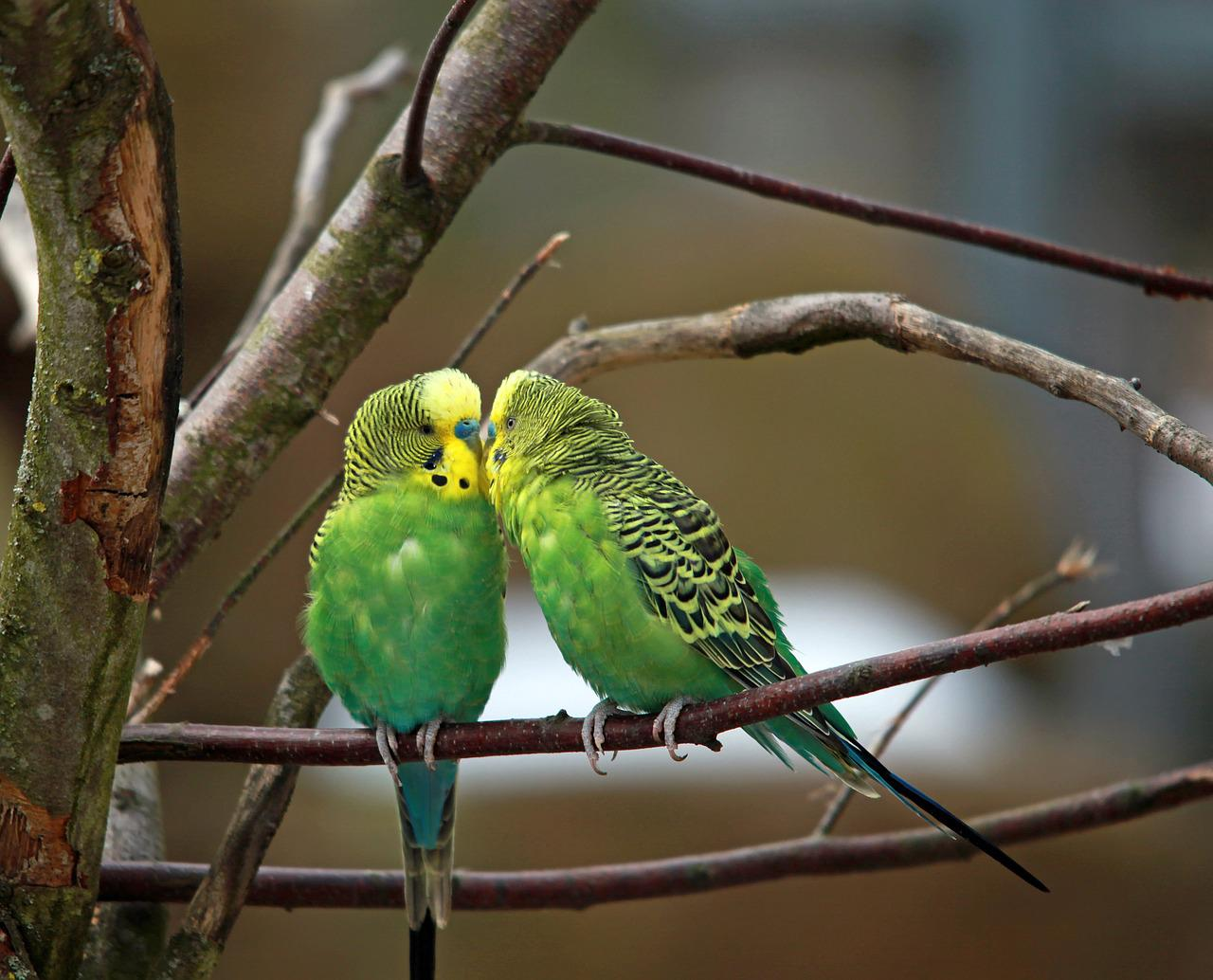 Маленькие попугайчики в картинках