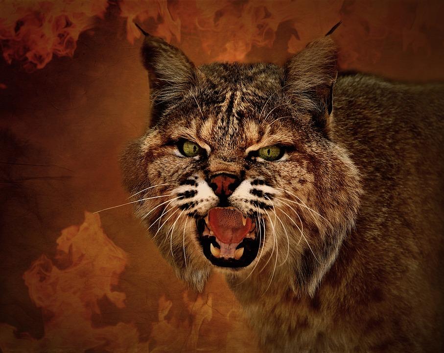88+ Gambar Binatang Kucing Garong Gratis Terbaru