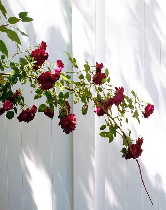 Staket staket rosor : Gratis foto: Red, Rosor, Bush, White, Staket - Gratis bild på ...