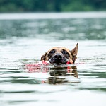 malinois, dog, water