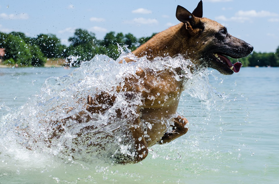 Malinois, Con Chó, Nước, Nhảy, Bỉ Shepherd Dog
