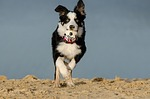 border collie, dog