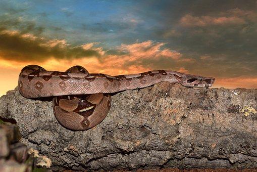 Emperor Snake Boa Snake Boa Imperator Lurk