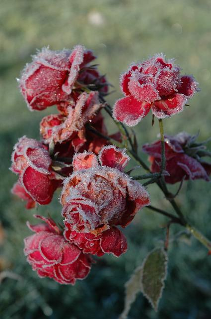 free photo  ros  roses  frozen  flowers  frost - free image on pixabay