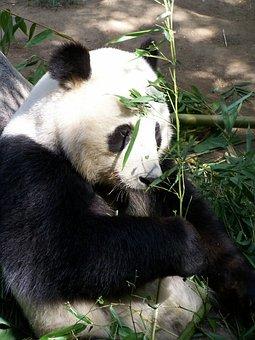 Panda, Giant Panda, Zoo, San Diego Zoo