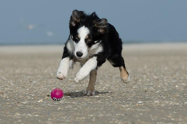 Free Photo  Border Collie  Ball  Running Dog - Free Image On Pixabay