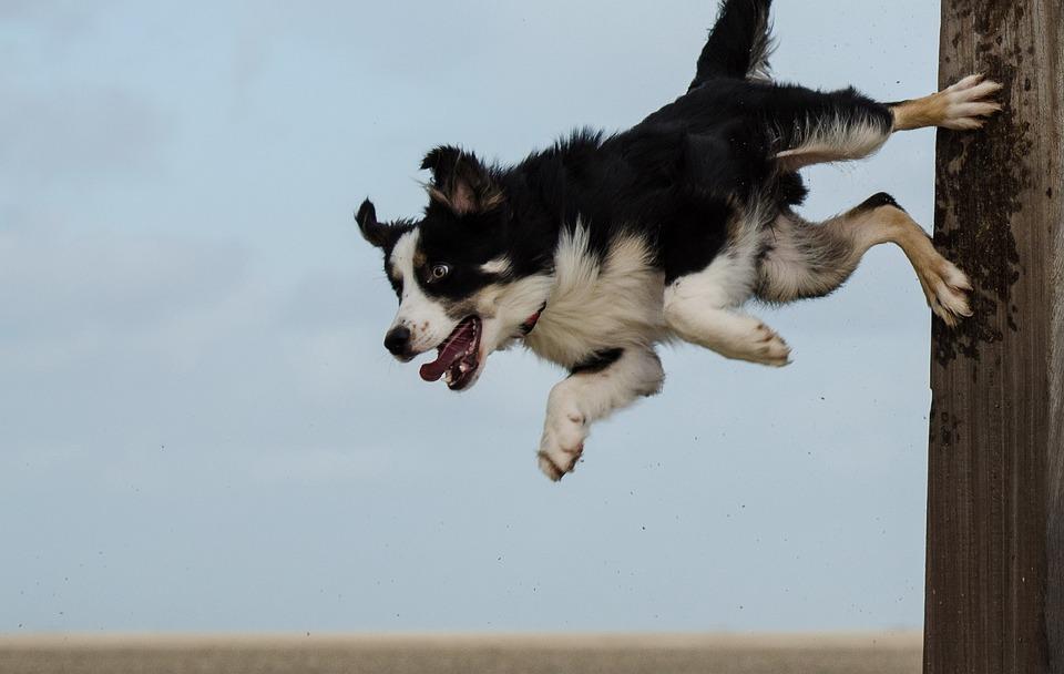 free photo  border collie  dog trick - free image on pixabay