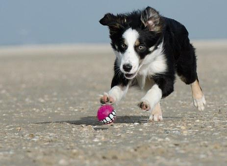 Border Collie, Ball Junkie, Ball Hunting